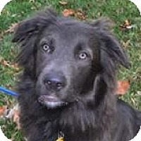 Australian Shepherd Mix Dog for adoption in Independence, Missouri - Sampson