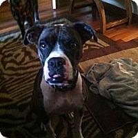 Adopt A Pet :: Brenda - Pembroke pInes, FL