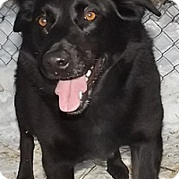 Labrador Retriever Mix Dog for adoption in Savannah, Missouri - Tori