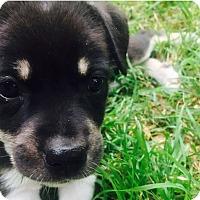 Adopt A Pet :: Ultron - Austin, TX