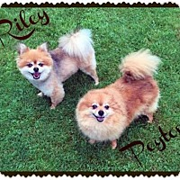Adopt A Pet :: Peyton - Harrisburg, PA