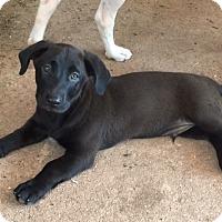 Adopt A Pet :: Felix - Sinking Spring, PA