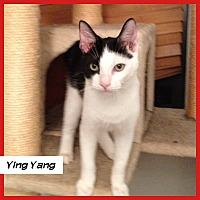 Domestic Shorthair Cat for adoption in Miami, Florida - Ying Yang