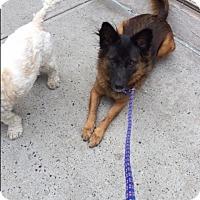 Adopt A Pet :: Little Brazen - Long Beach, NY