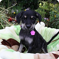 Adopt A Pet :: SKYLAR - Newport Beach, CA