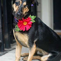 Adopt A Pet :: Holly GoLightly - Baton Rouge, LA