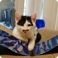 Domestic Shorthair Kitten for adoption in Columbus, Ohio - Mordechai