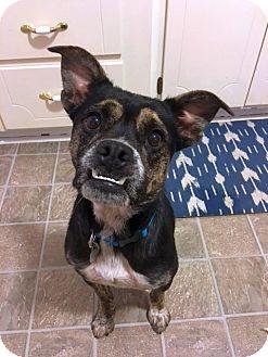 Boxer/Australian Cattle Dog Mix Dog for adoption in Huntsville, Alabama - Perdita