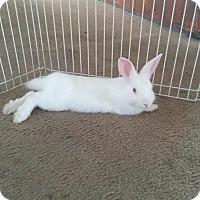 Adopt A Pet :: Pockets - Los Angeles, CA