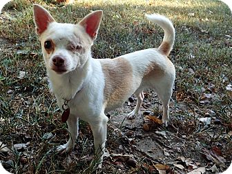 Chihuahua Mix Dog for adoption in North Wilkesboro, North Carolina - Trixie