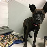 Adopt A Pet :: Pipsy - Kansas City, MO