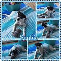 Adopt A Pet :: Sophia - Lexington, KY