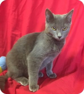 Russian Blue Kitten for adoption in pasadena, California - ELLIOT