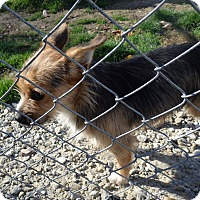 Yorkie, Yorkshire Terrier Mix Dog for adoption in Transfer, Pennsylvania - Tito