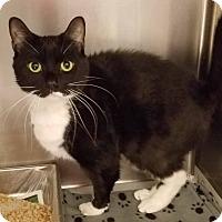 Adopt A Pet :: Mittons - Windsor, VA