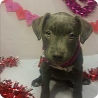 Adopt A Pet :: Confetti-Pending! - Detroit, MI