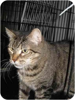Domestic Shorthair Cat for adoption in Las Vegas, Nevada - Bubbers