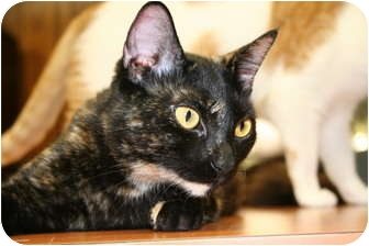 Domestic Shorthair Cat for adoption in Naples, Florida - Sasha