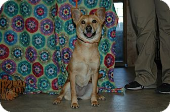 Basenji Mix Dog for adoption in san antonio, Texas - Sugar