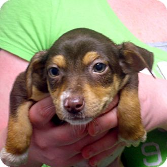Beagle/Feist Mix Puppy for adoption in baltimore, Maryland - Cleavon