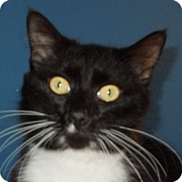 Domestic Mediumhair Cat for adoption in Jacksonville, North Carolina - Victor