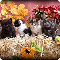 Adopt A Pet :: Purrnelope - Union, KY