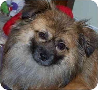 pomeranian rescue sc ollie see video adopted dog drayton sc pomeranian 8448