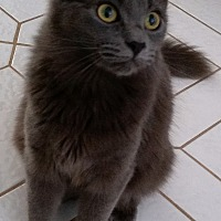 Russian Blue Kitten for adoption in Sunny Isles Beach, Florida - Carmen Silva