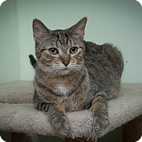 Domestic Shorthair Cat for adoption in Chicago, Illinois - Lucky