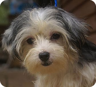Spring Valley, NY - Yorkie, Yorkshire Terrier/Lhasa Apso ...