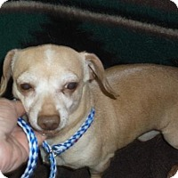 Dachshund/Chihuahua Mix Dog for adoption in Bonifay, Florida - Pinky
