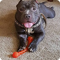 Pit Bull Terrier Mix Dog for adoption in Pataskala, Ohio - Toad