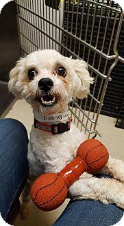Bichon Frise/Poodle (Miniature) Mix Dog for adoption in St John, Indiana - Tito