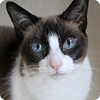 Siamese Cat for adoption in Chicago, Illinois - Bandita