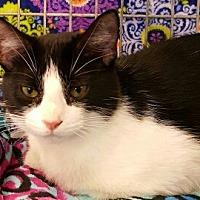 Adopt A Pet :: Feya - Lyons, IL