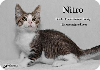 Domestic Shorthair Kitten for adoption in Ortonville, Michigan - Nitro