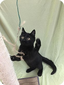 Domestic Shorthair Kitten for adoption in Downingtown, Pennsylvania - Buckwheat