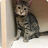 Domestic Shorthair Kitten for adoption in Westminster, California - Autumn