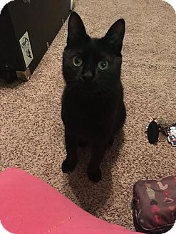 Domestic Shorthair Cat for adoption in New Orleans, Louisiana - Zeta