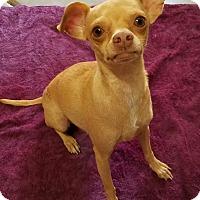 Adopt A Pet :: Dina - Monrovia, CA