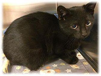 Domestic Shorthair Kitten for adoption in Herndon, Virginia - Tank