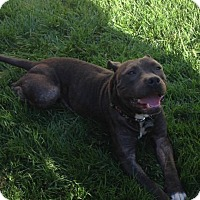 American Pit Bull Terrier Mix Dog for adoption in Lincoln, California - Turtle