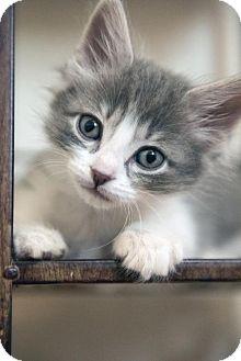 Domestic Shorthair Kitten for adoption in Dallas, Texas - Luke Skywalker II