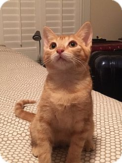 Domestic Shorthair Kitten for adoption in Houston, Texas - Pancho