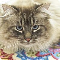 Adopt A Pet :: Olaf - Great Falls, MT