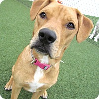Adopt A Pet :: Allie AWESOME FAMILY DOG! - House Springs, MO