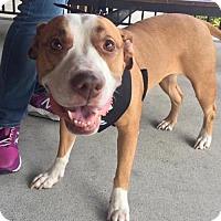 Adopt A Pet :: Khloe Pie - Fort Lauderdale, FL