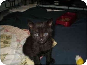 Domestic Shorthair Kitten for adoption in Morris, Pennsylvania - Ashley