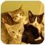 Photo 1 - Domestic Shorthair Cat for adoption in Jacksonville, North Carolina - Rose
