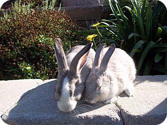 Chinchilla, Standard Mix for adoption in Bonita, California - Pierre